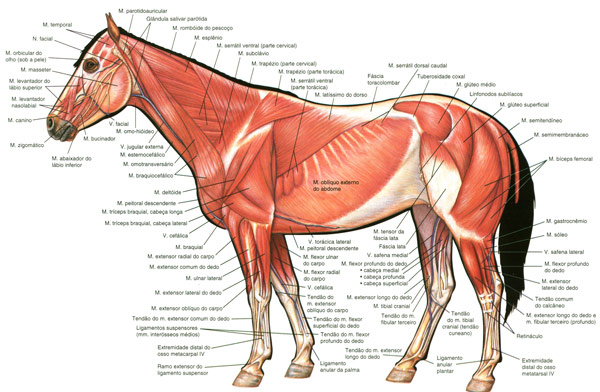 Horse Muscle Anatomy