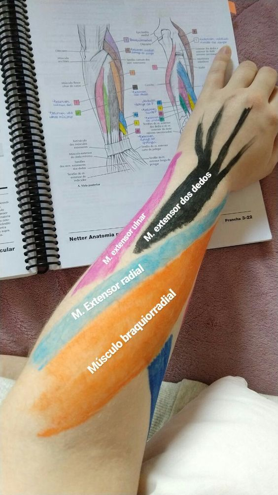 Distal Of Upper Extremity Forearm Anatomical Landmark