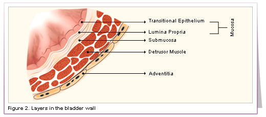 Urinary Bladder Wall Structure