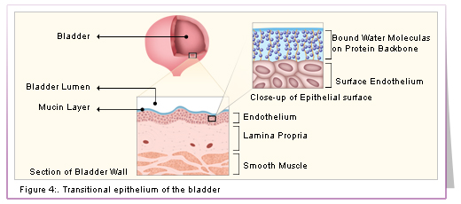 Transitional Epithelium Of The Bladder Diagram