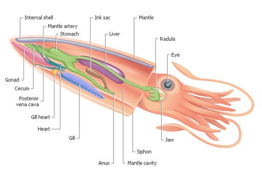 Squid Internal Organ Anatomy
