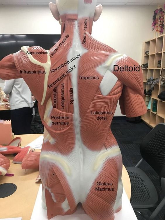 Anatomy Of Back Muscles Diagram