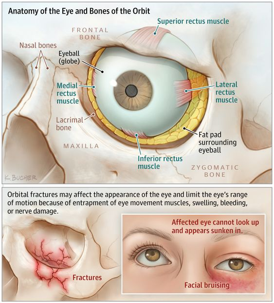 Anatomy Of The Eye And Bones Of The Orbit