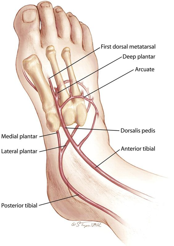 Anterior Tibial Artery And Posterior Tibial Artery Diagram