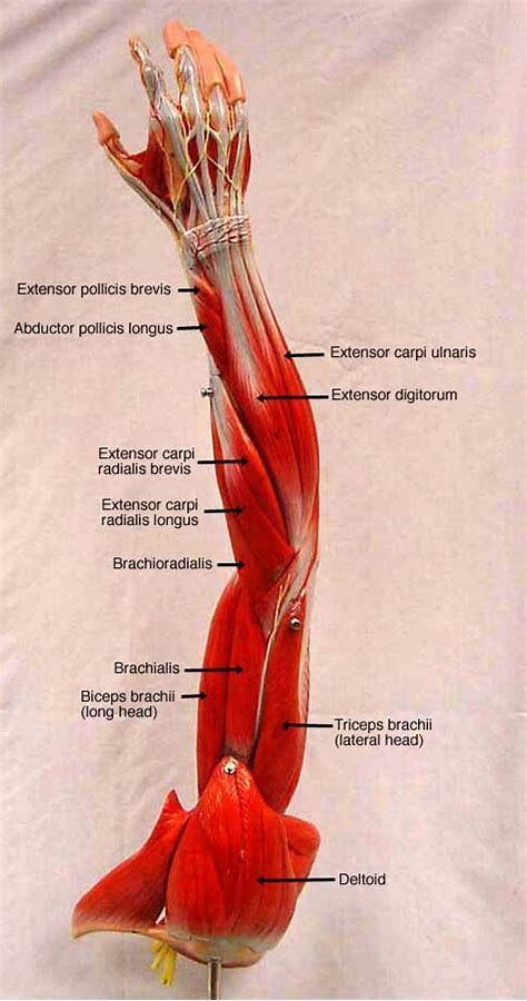 Brachialis Anatomical Location