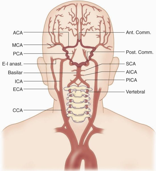 Common Arteries In Brain Diagram