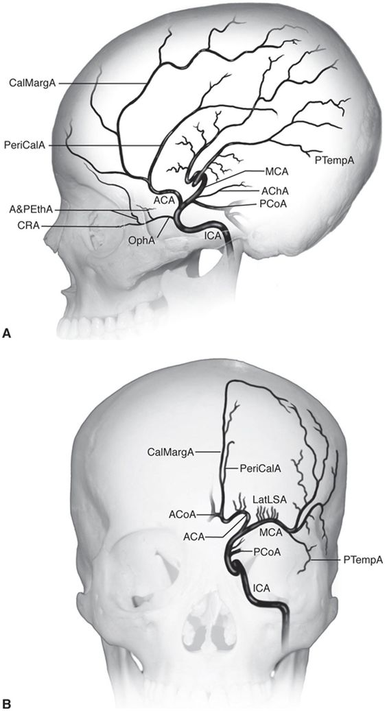 Internal Carotid Artery Anatomical Structure