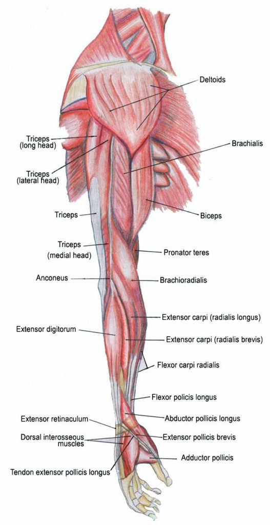 Lateral View Of Upper Extremity Muscle Anatomial Structure