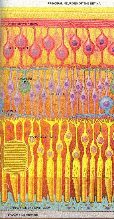 Levels Of Sensor Cells In The Retina Diagram