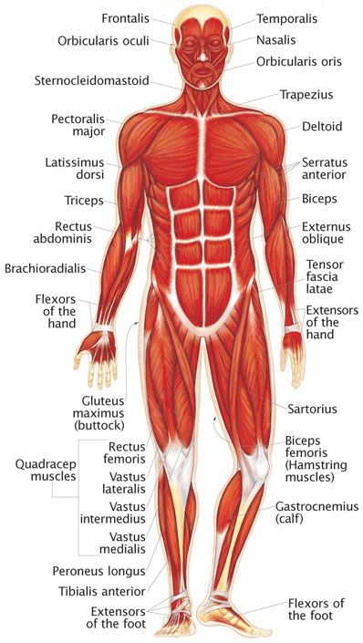 Main Muscles Of Human Body Anterior View