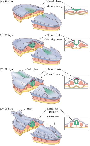 Neural Tube Development In The Embryo Diagram