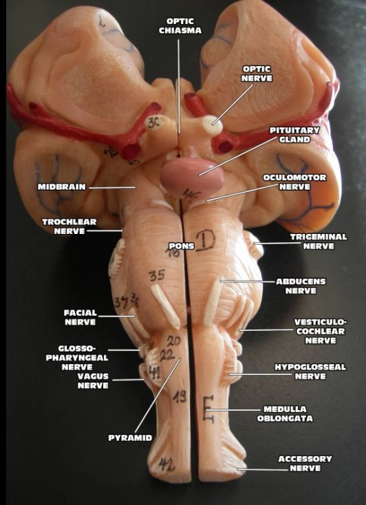 Pons Anatomical Structure