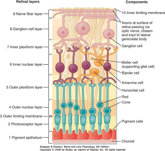 Retinal Epithelial Layers Chart