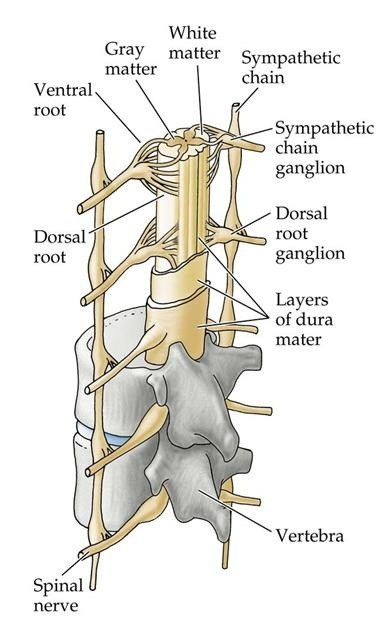 Spinal Cord Injury Anatomy