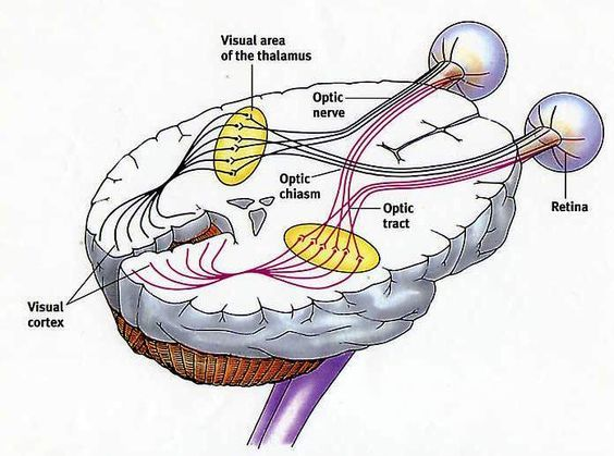 Visual Cortex Anatomical Location