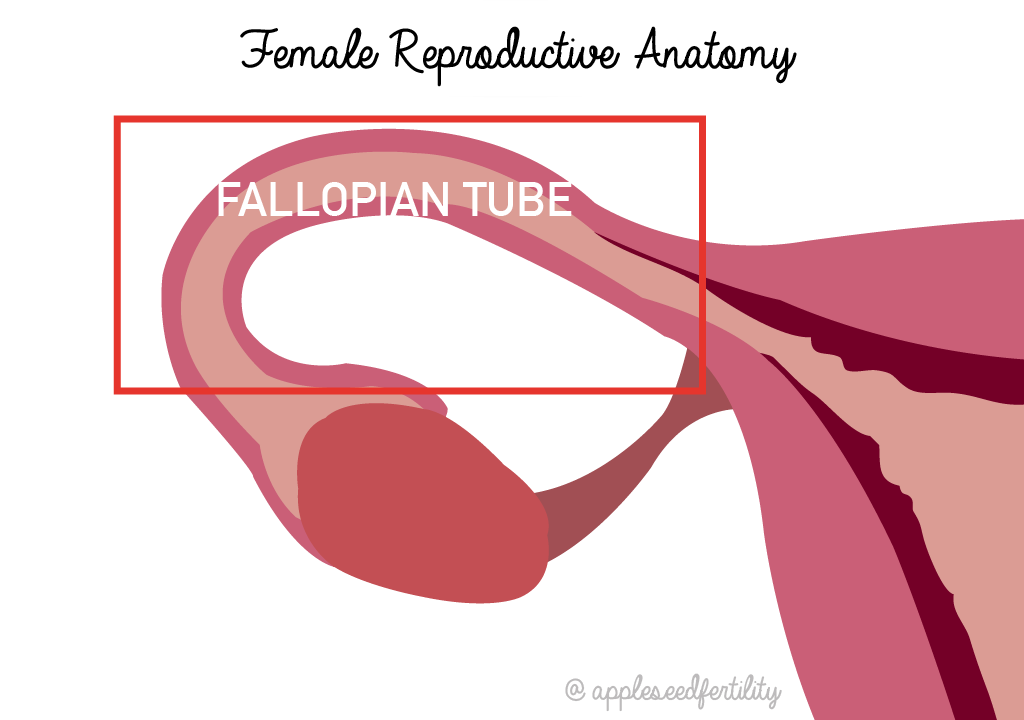 Fallopian Tube Anatomical Location In Female Reproductive System