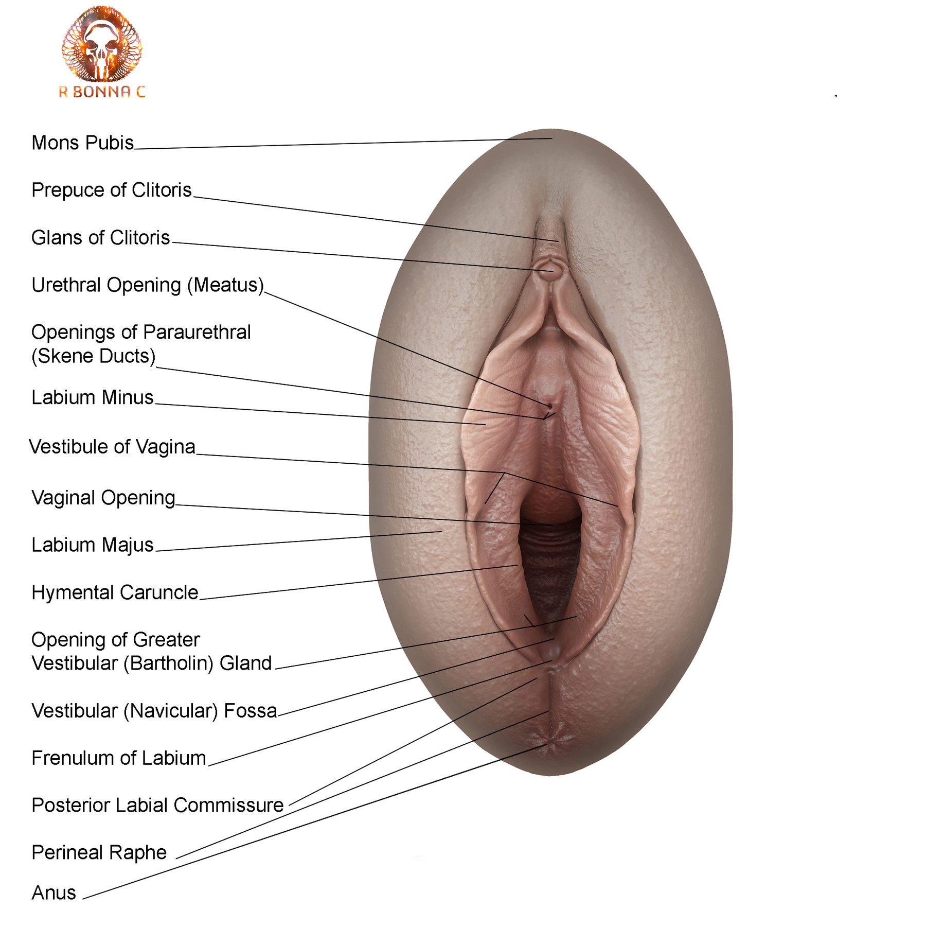 Glans Of Clitoris Anatomical Location In Female Vagina