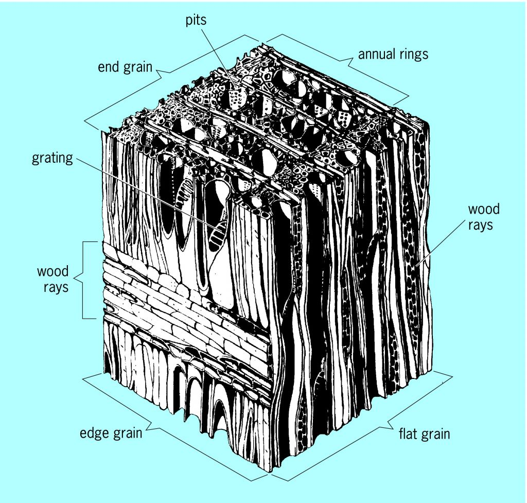 Wood Cell Anatomy