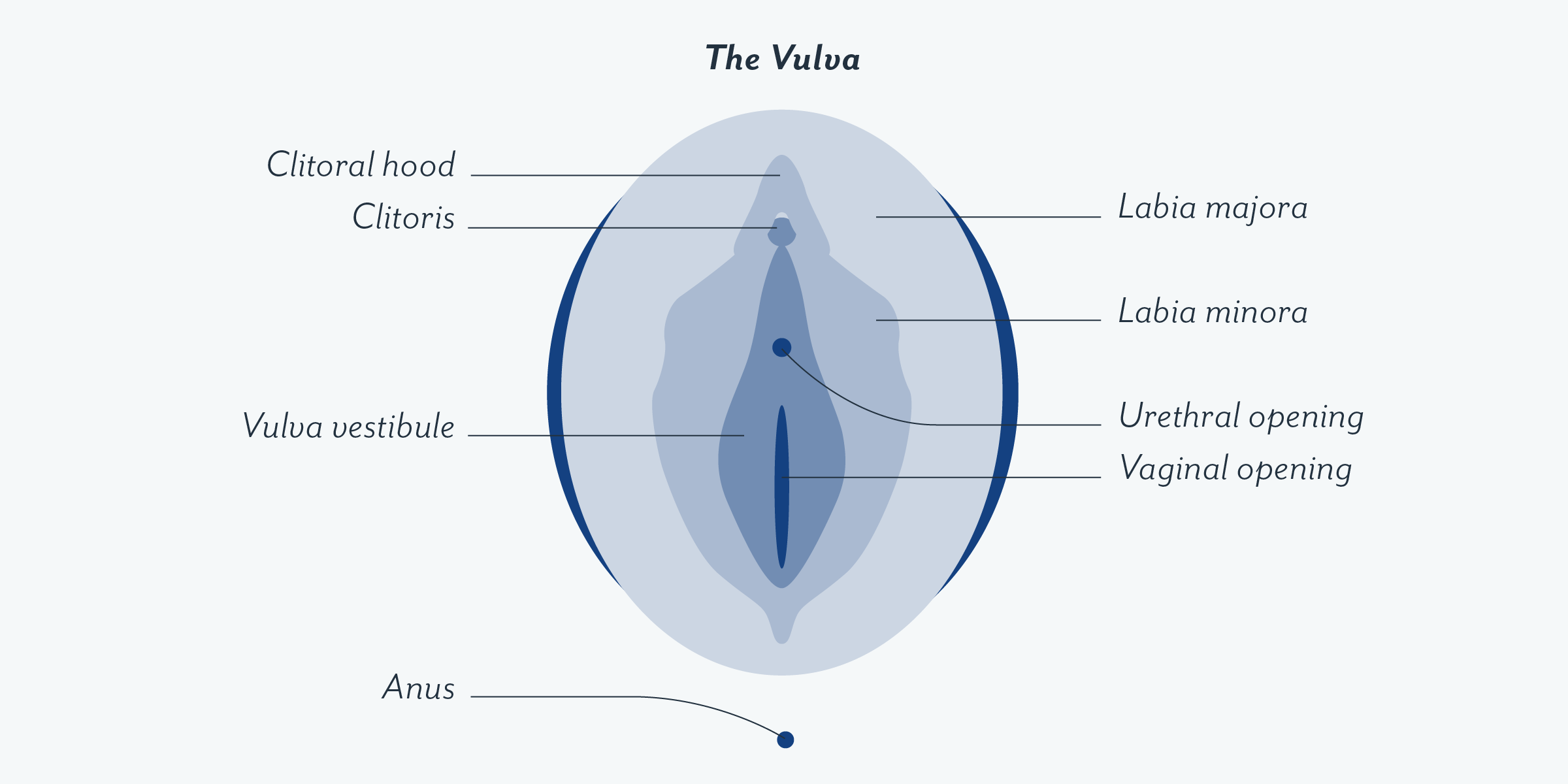 The Vulva Gross Anatomy Of Female Reproductive System