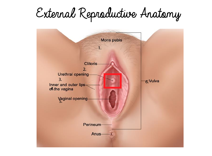 Urethra Opening Anatomical Location In Female Reproductive System