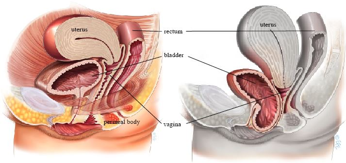 Uterus And Bladder Lateral View