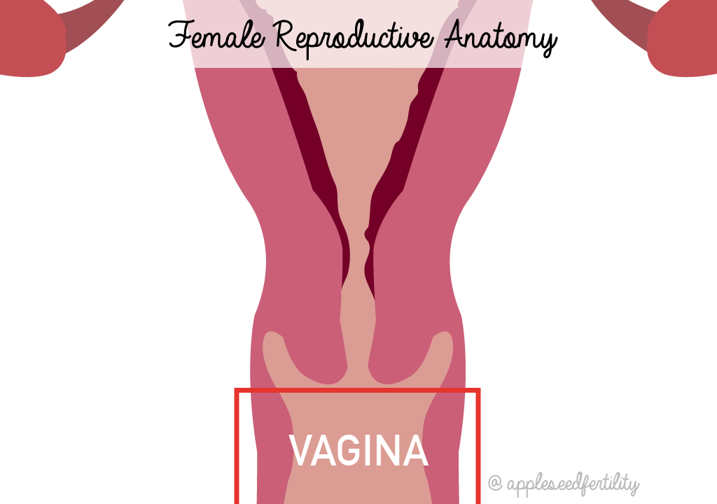 Vagina Anterior Anatomical Location In Female Reproductive System