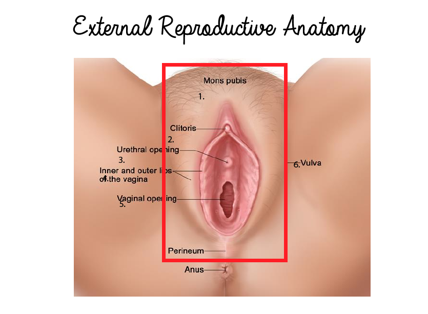 Vulva Anatomical Location In Female Reproductive System