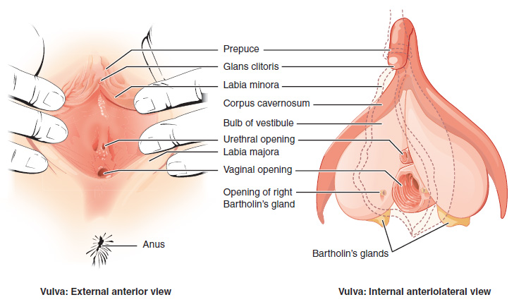 Vulva Anatomical Structure Diagram