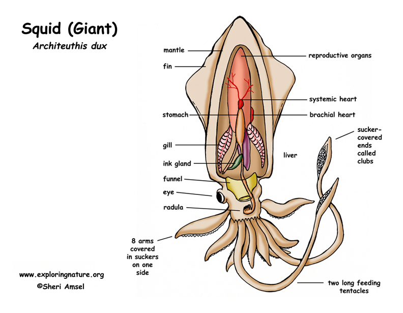 Squid Giant Architeuthis Dux Anatomy