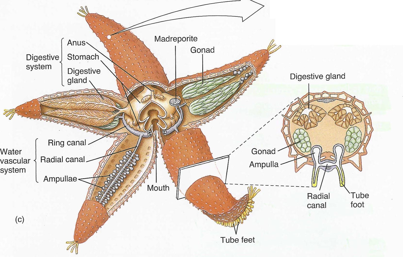 Starfish Anatomy Structure