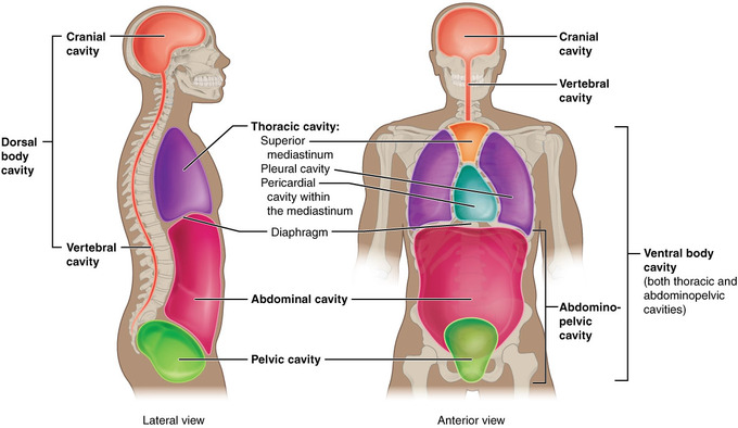 Anatomical terminology for body cavities