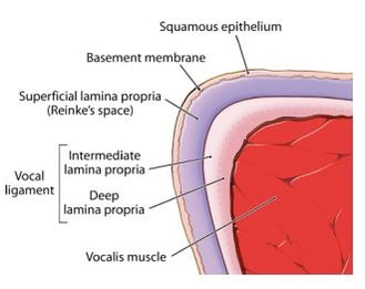 Anatomy Of The Vocal Folds