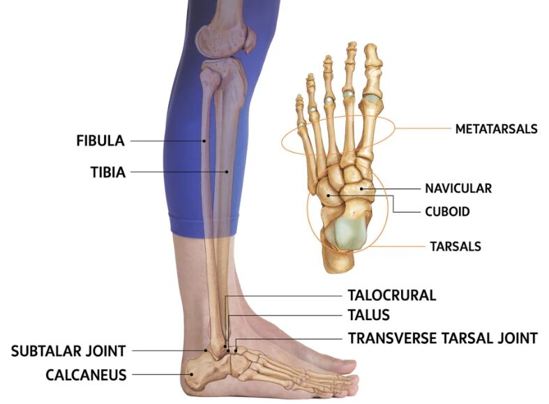 Ankle Anatomy Lateral View