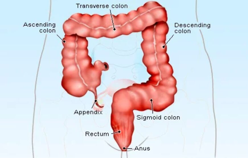 Anus Location In Colon