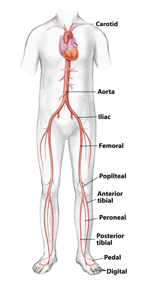 Arterial System In The Human Body