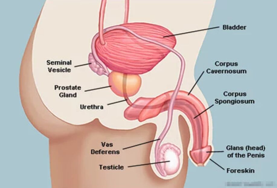 Bladder Location Diagram