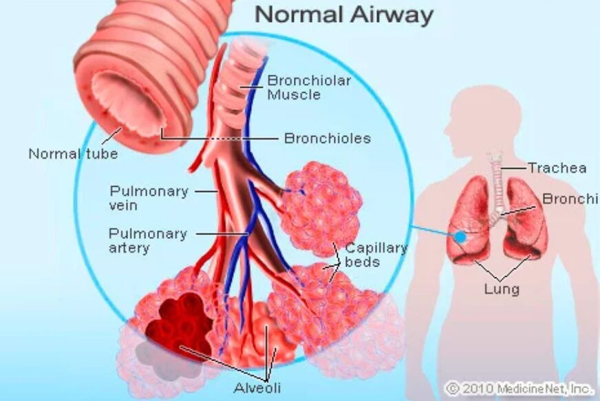 Bronchioles Normal Airway Anatomy
