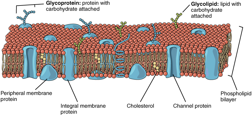 Cell Membrane Diagram