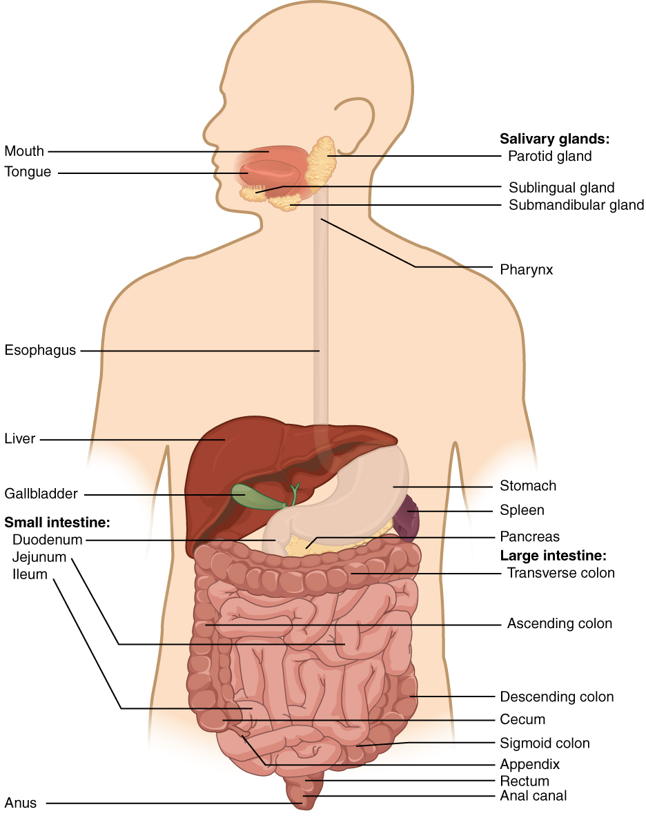 Components Of The Digestive System Diagram
