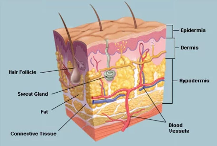 Epidermis, Dermis Anatomical Location Diagram