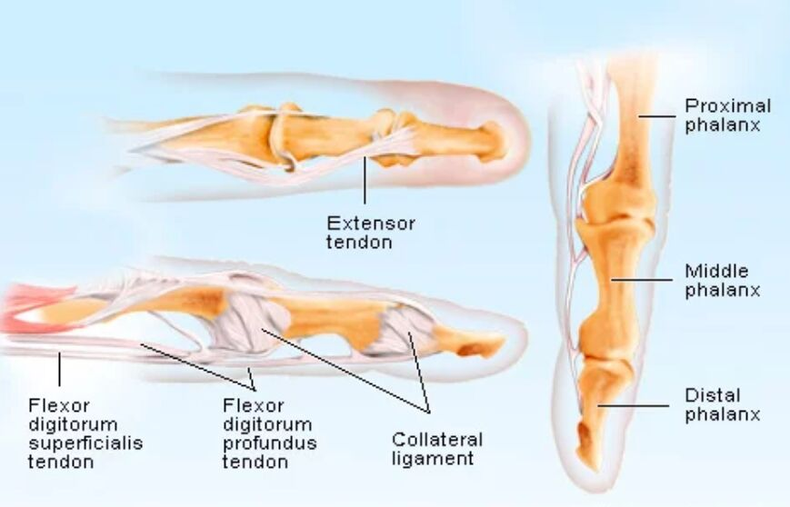 Finger Bone And Tendon Anatomical Structure