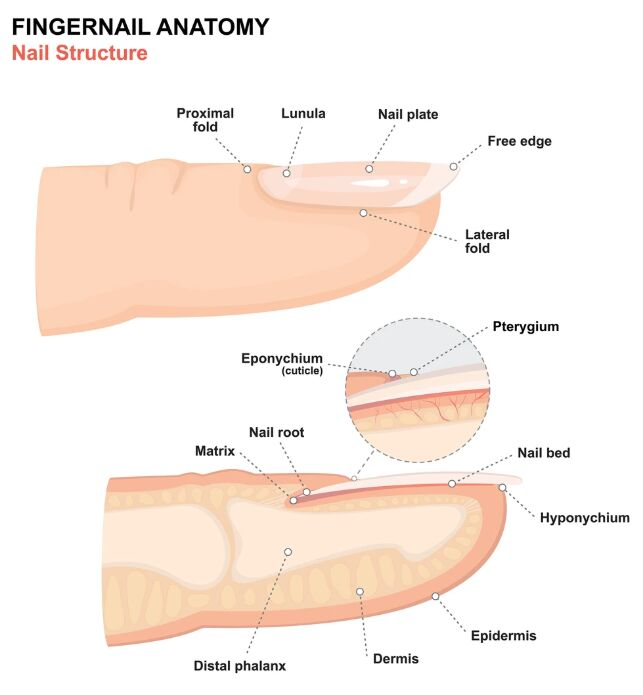 Fingernail Anatomy Lateral View