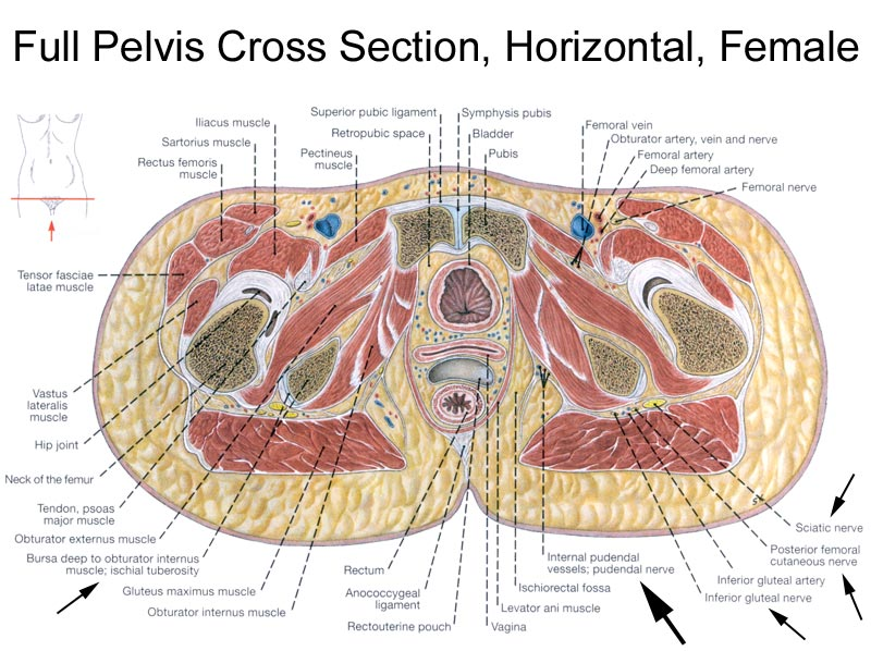 Full Pelvis Cross Section Horizontal Female Diagram