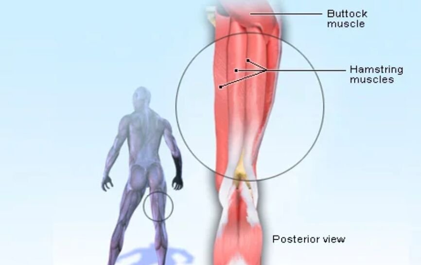 Hamstring Muscle Location Diagram