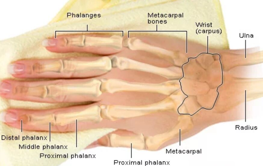 Hand Skeleton Anatomy Diagram