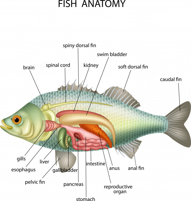 Fish Anatomy Gross View