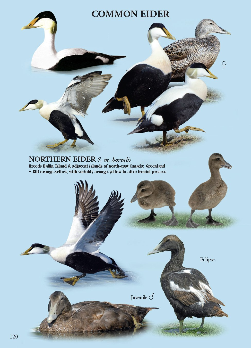 Common Eider Diagram