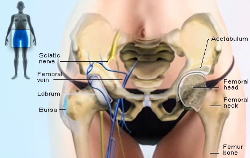 Hip Bone Anterior View Anatomy Diagram