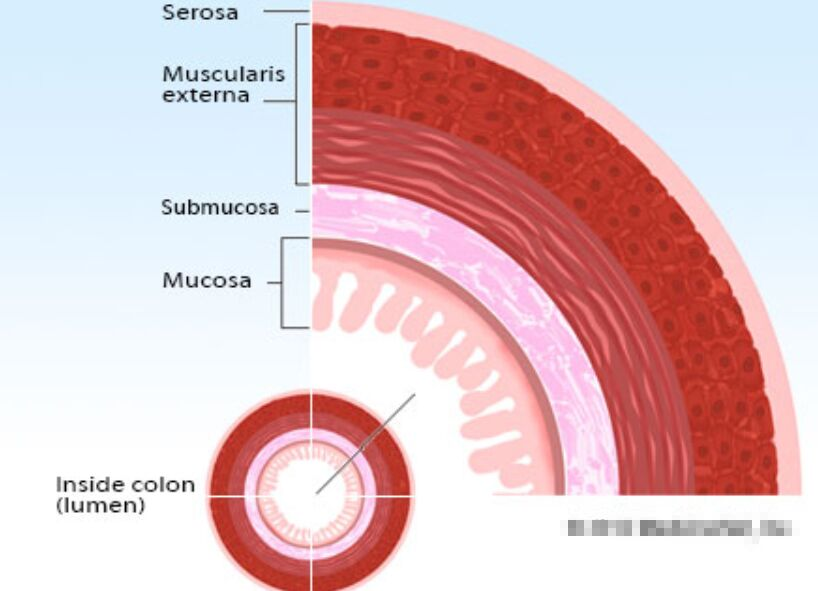Internal Anatomy Of The Colon Sectional View