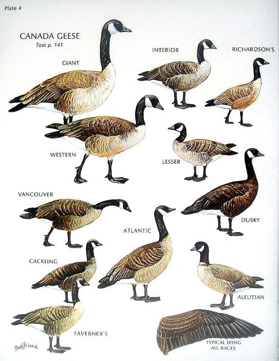 Different Types Of Canada Geese